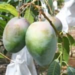 収穫前のマンゴー(キーツ)